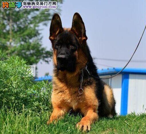 出售优秀健康德国牧羊犬 南京专业犬舍繁殖可上门挑选