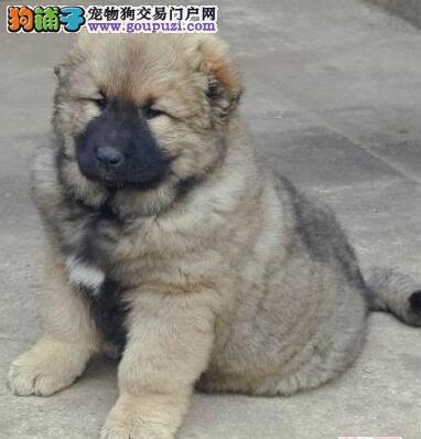 宜春俄罗斯大型犬高加索震撼来袭 威猛高大 英勇护主