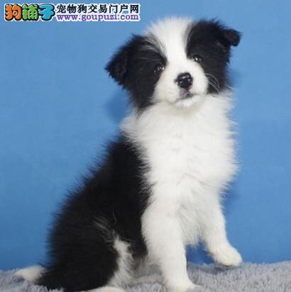 出售家养边境牧羊犬幼犬