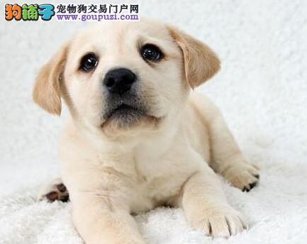 出售纯种郑州拉布拉多犬疫苗驱虫已做可预订