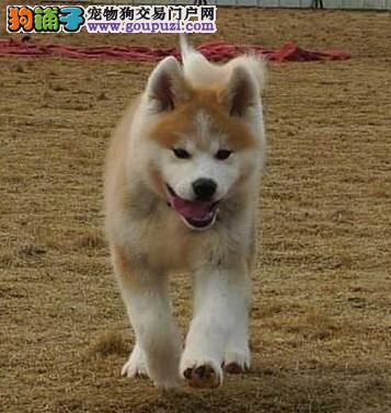 深圳哪里有卖秋田犬 逸彩犬舍专业繁殖纯种健康秋田犬