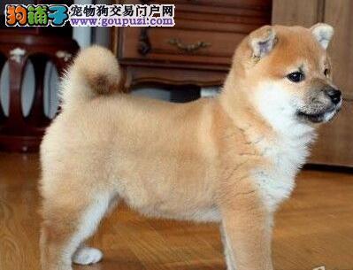 郑重承诺:邯郸犬舍出售秋田犬可享受特级优惠价格可谈