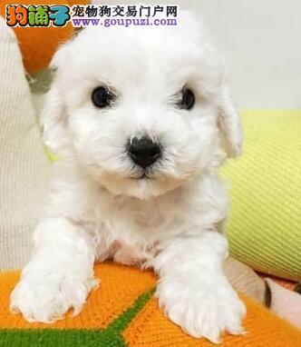专业犬舍繁殖特价出售纯种邯郸比熊犬 证书齐有保障