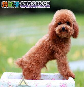 贵宾犬 不以价格惊天下 但以品质惊世人当日付款包邮