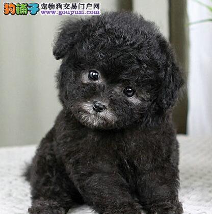 直销出售纯种韩系邯郸泰迪犬证书齐全有问题可双倍赔偿