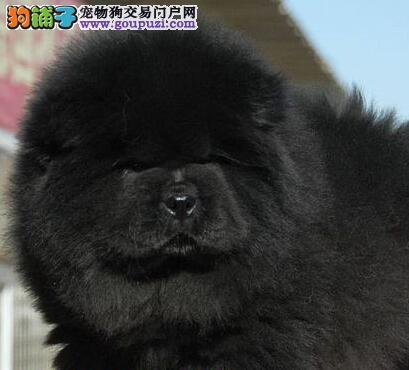 高品质的北京松狮找爸爸妈妈包养活送用品