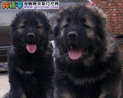 猛犬高加索武汉出售 极品中的极品 猛犬我们只繁殖最好