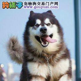 长沙家养繁殖销售阿拉斯加幼犬 售后可签协议书保证