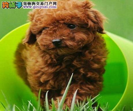 贵宾犬CKU认证犬舍自繁自销保证品质完美售后