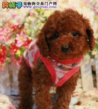 狗场出售 贵宾幼犬 贵族的品质,全国发货