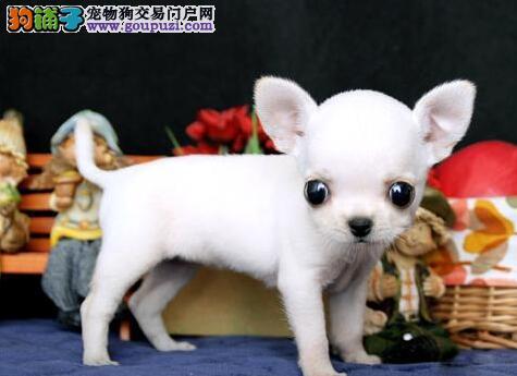 可爱高品质苹果头的洛阳吉娃娃幼犬低价出售 欲购从速