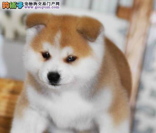 长沙感性忠诚的秋田犬 想找个好的归宿 抓紧时间哦