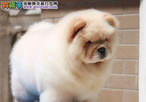 纯种憨厚长沙肉嘴松狮大促销 绝对忠诚绝对守护的爱犬