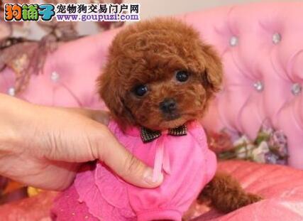 呼和浩特犬舍出售巨型品种的贵宾犬 可以送货上门选购