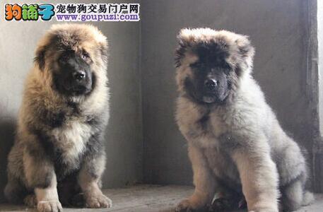 品相极佳高大威猛的北京高加索犬出售中 有血统证书