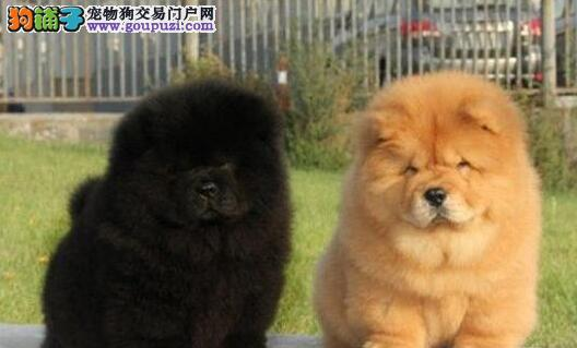 出售多种颜色长沙纯种松狮幼犬血统证书芯片齐全