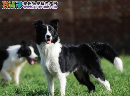 出售家养血统纯正,健康活泼边境牧羊犬幼犬