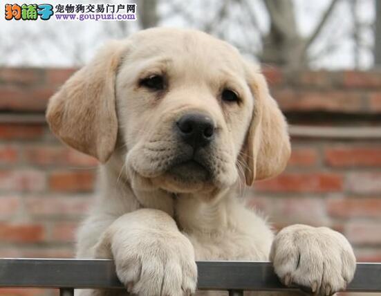 犬舍直销品种纯正健康黄石拉布拉多国际血统证书