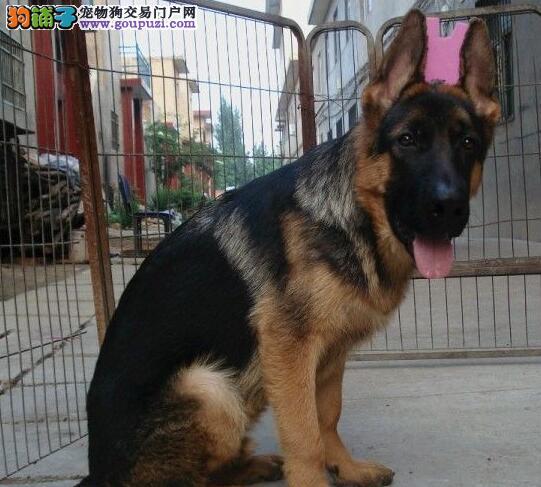 出售高品质呼和浩特德国牧羊犬 健康纯正 品种优良