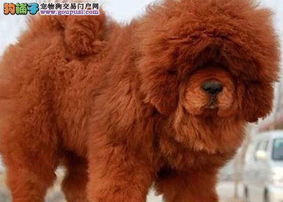 武汉知名獒园出售藏獒幼崽 铁包金名獒血系