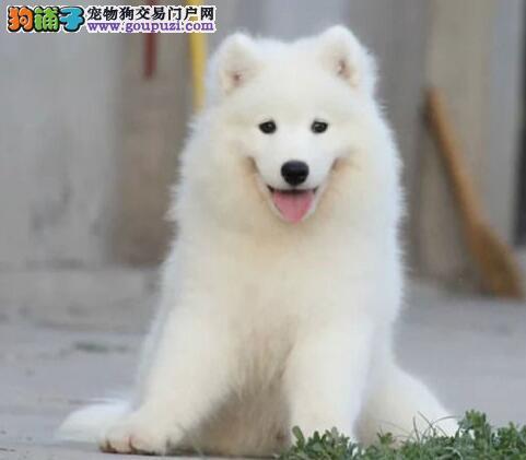 实体店出售精品萨摩耶保健康微信咨询看狗狗照片