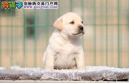 开封出售健康漂亮 纯种拉布拉多导盲幼犬
