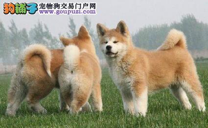 景德镇大型犬舍低价热卖极品秋田犬国外引进假一赔百