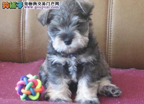 雪纳瑞CKU认证犬舍自繁自销上门可见父母