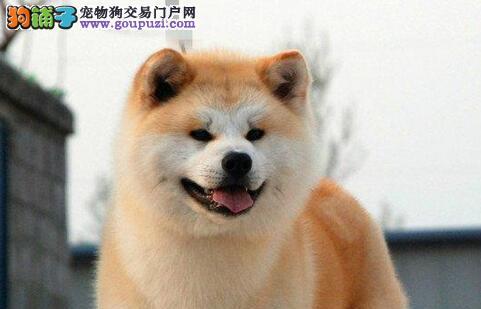 纯种秋田犬幼崽 国际血统品相好 寻找它的主人