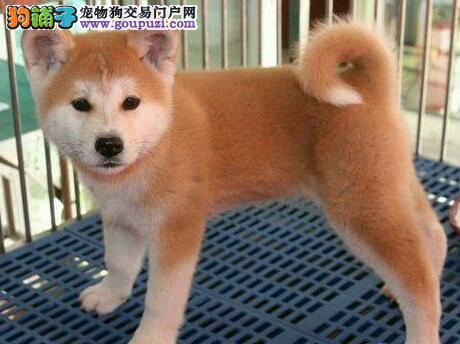 自家犬舍直销纯种日系秋田犬 拉萨地区可免费送货上门