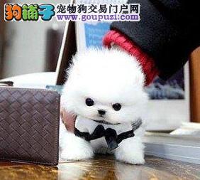 出售哈多利版博美犬 欢迎来拉萨地区上门购买和挑选