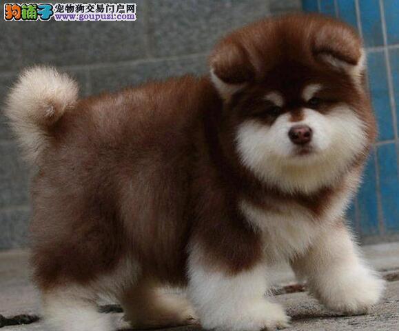 家养多只郑州阿拉斯加犬宝宝出售中全国空运发货