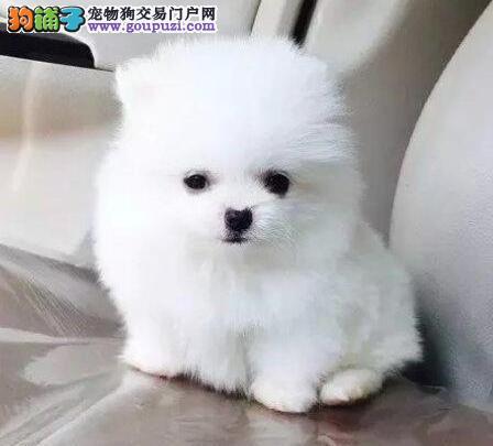 自家狗场繁殖直销博美犬幼犬价格美丽品质优良