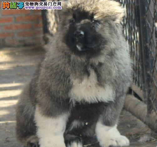 出售狼青色熊版高大威猛的昆明高加索犬 完美售后服务