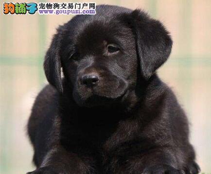 合肥大型犬舍繁殖出售高气质的拉布拉多犬 欲购从速