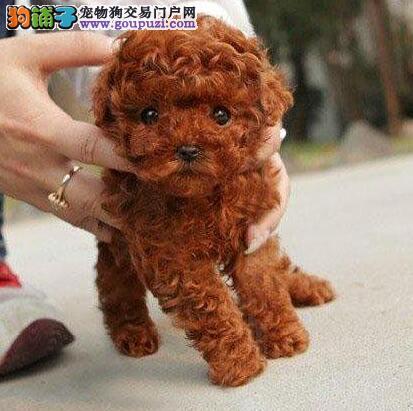 福州专业狗场出售韩系贵宾犬 国外引进血统保纯度