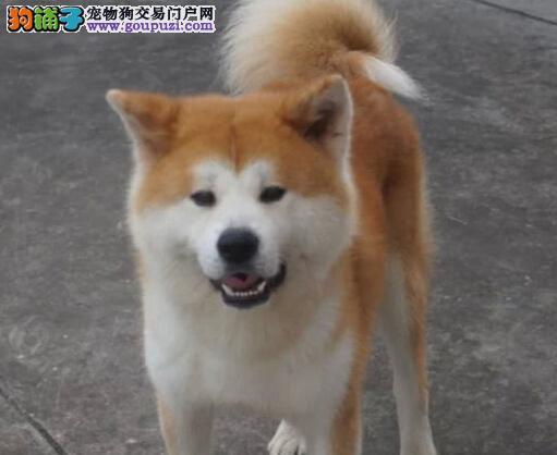 完美品相血统纯正秋田犬出售专业繁殖中心值得信赖