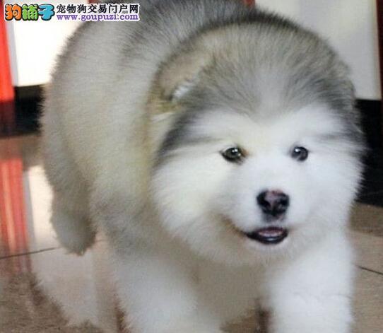 赛级宠物级阿拉斯加接受预定,顶级阿拉斯加