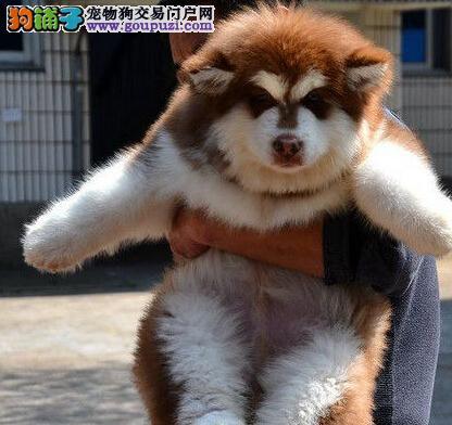南京有十字脸纯血统的阿拉斯加犬出售 可上门挑选