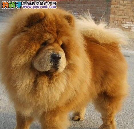 大面包紫舌齐齐哈尔松狮犬转让肉呼呼超可爱