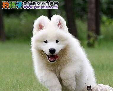 微笑天使萨摩耶小萨母狗幼犬成都出售