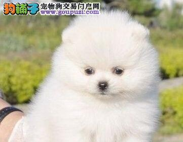 权威机构认证犬舍 专业培育博美犬幼犬质量三包多窝可选