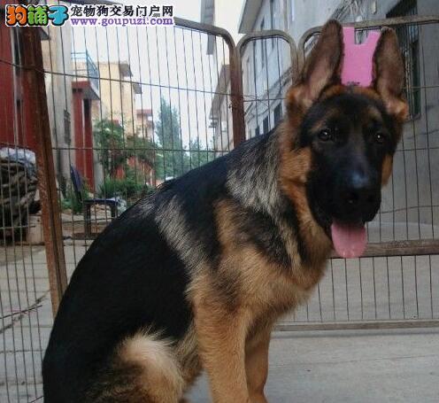 济南正规犬舍出售大骨量大腮皮锤系德国牧羊犬 签协议
