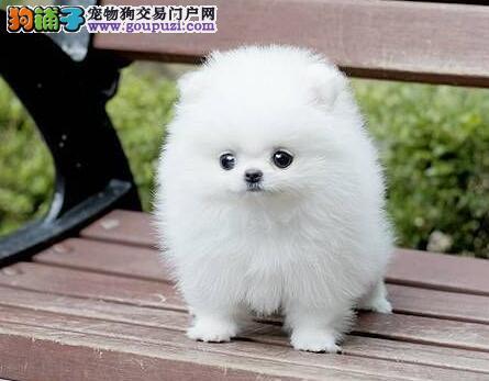 纯种健康的哈多利版绍兴博美犬待售中 可打电话预定