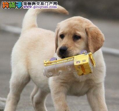 绍兴养殖场出售顶级拉布拉多导盲犬 保证血统纯正