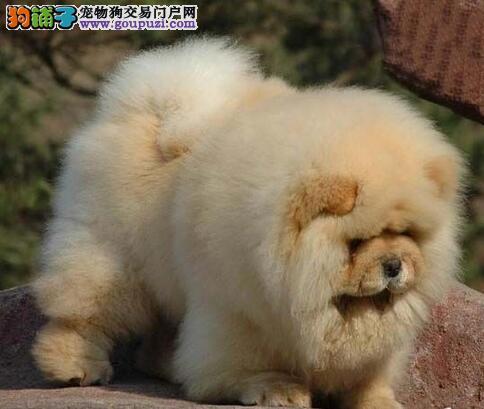 CKU认证犬舍出售高品质松狮签署各项质保合同
