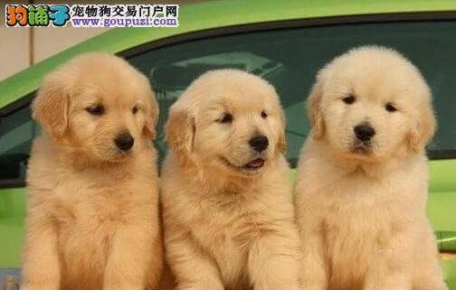家养健康纯种金毛犬转让福州地区购犬可送货