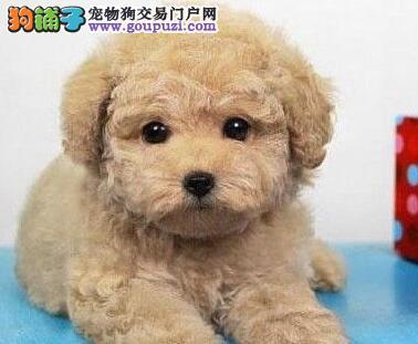 贵宾犬宝宝热销中,纯度第一价位最低,签订活体协议