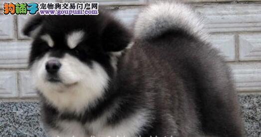 极品阿拉斯加犬幼犬,公母均有颜色齐全,当天付款包邮