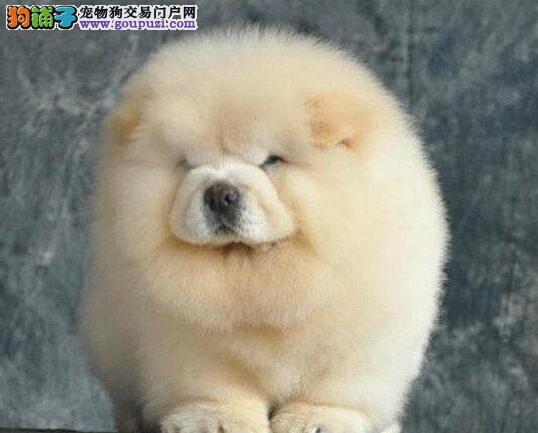 石家庄出售纯种大头肉嘴紫舌头松狮犬 多种颜色